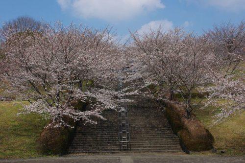 運動公園の桜2